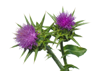 natural milk thistle