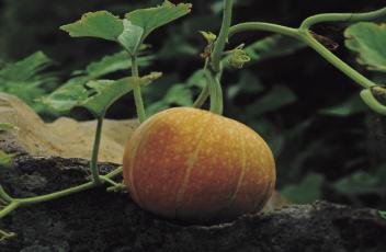 pumpkin-banner-2